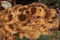 Meripilus giganteus 54209633.jpg