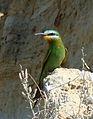 Merops persicus; Baikonur 004.jpg