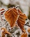Met rijp bedekt beukenblad (Fagus sylvatica).jpg