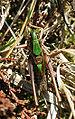 Metrioptera brachyptera m 10545.jpg