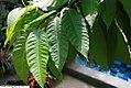 Michelia champaca 16zz.jpg