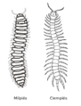 Millipede centipede side-by-side es.png