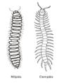 Millipede centipede side-by-side es.png