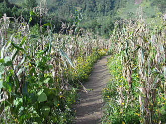 San Juan Ixcoy - Milpa fields in the Guatemalan highlands with maize, beans and squash