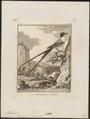 Milvulus tyrannus - 1700-1880 - Print - Iconographia Zoologica - Special Collections University of Amsterdam - UBA01 IZ16500365.tif