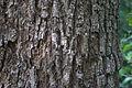 Mimusops elengi bark.jpg