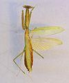 Miomantis paykullii TPopp.jpg
