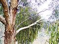 Mistletoe on tree.jpg