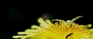 <i>Misumena nigromaculata</i> species of arachnid