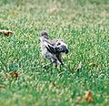 Mockingbird Chick015.jpg