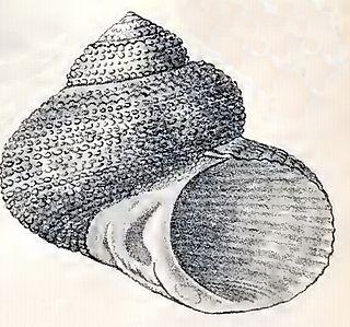 <i>Modelia granosa</i> Species of gastropod