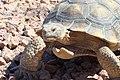 Mojave Desert Tortoise (6079791590).jpg