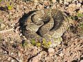 Mojave rattlesnake (24744954659).jpg
