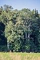 Monheim 3 Alteichen am Waldrand 013.jpg