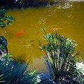Morikami Museum and Gardens - Koi and Turtles and Papyrus Reeds.jpg