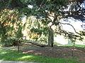 Morris Arboretum Tsuga canadensis 'Pendula'.JPG