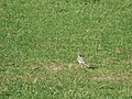 Motacilla alba, Spomenik prirode Slapovi Sopotnice, Srbija (58).jpg