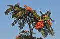 Mountain-Ash Farnblättrige Eberesche Sorbus scalaris 12.jpg