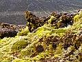 Mousses et Azorelles sur basalte - panoramio.jpg
