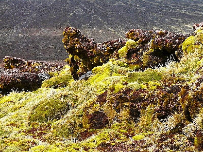 File:Mousses et Azorelles sur basalte - panoramio.jpg