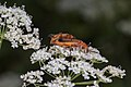 Multitasking common red soldier beetles on wild carrot.jpg