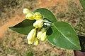 Murraya paniculata 05a.JPG