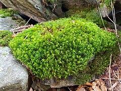 Muschio Bryophyta in Val Vigezzo - Toceno VCO, Piedmont, Italy 2020-09-12.jpg