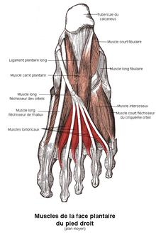 muscle du pied droit