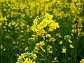 Mustard plant.jpg