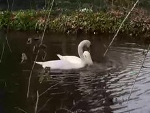 File:Mute swan courting.webm