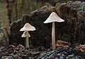 Mycena galericulata, Common Bonnet, Enfield, UK.jpg