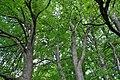 Mykulyntsi-buky-15056865.jpg