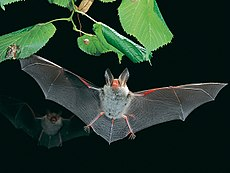 Myotis bechsteinii-flying1.jpg