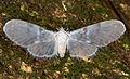 Mysidia sp. (15050955955).jpg