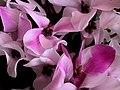 N2 Cyclamen persicum.jpg