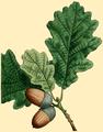NAS-002b Quercus robur.png