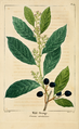 NAS-089 Prunus caroliniana.png