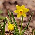 Narcis Tête à Tête (Narcissus). 07-03-2021 (actm.) 01.jpg