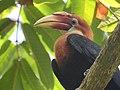 Narcondam Hornbill DSCN1992 06.jpg