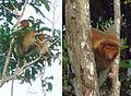 Nasalis larvatus, the Proboscis Monkey (11662017045).jpg