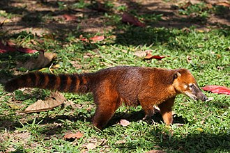 South American coati - Image: Nasua nasua Ilha Anchieta