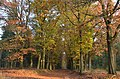 National Park Hoge Veluwe, Forest lane with coloured oaktrees at 28 October 2014 - panoramio.jpg