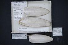 Sepiella japonica Sasaki, esemplare da museo.