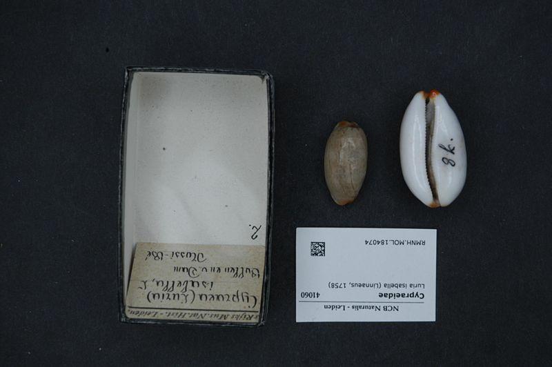 File:Naturalis Biodiversity Center - RMNH.MOL.184074 - Luria isabella (Linnaeus, 1758) - Cypraeidae - Mollusc shell.jpeg