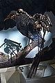 Neophrontops americanus fossil.jpg