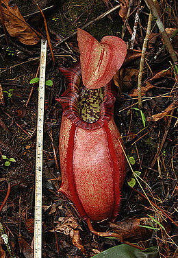 Spalvingasis ąsotenis (Nepenthes northiana)