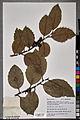 Neuchâtel Herbarium - Ilex aquifolium - NEU000100875.jpg