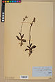 Neuchâtel Herbarium - Ophrys sphegodes - NEU000047888.jpg
