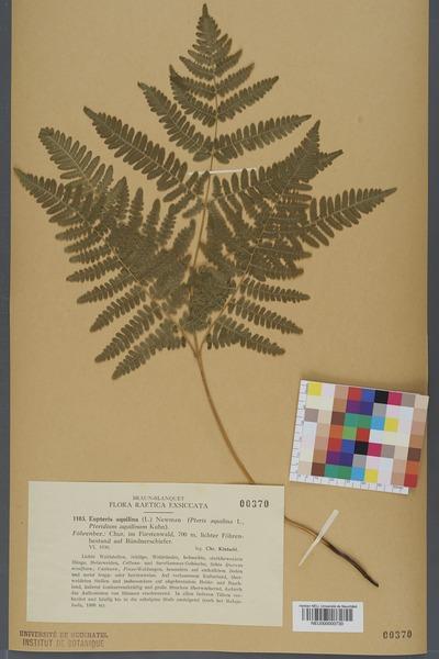 File:Neuchâtel Herbarium - Pteridium aquilinum - NEU000000730.tiff