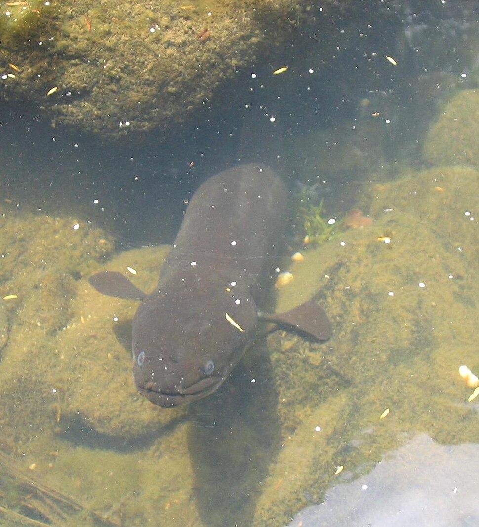 New Zealand long fin eel